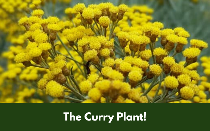 The Curry Plant!