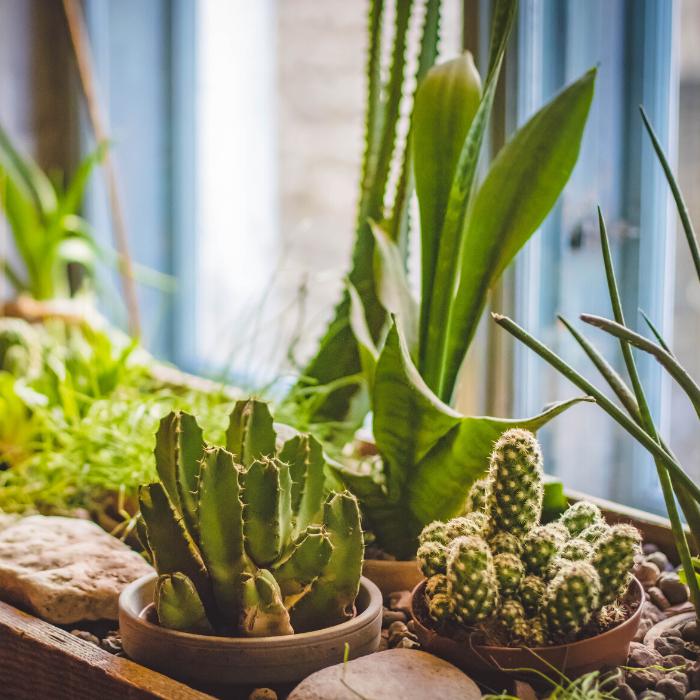 Potting your cactus