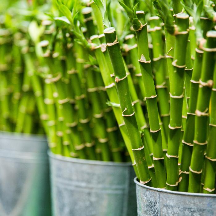 Variety - Bamboo