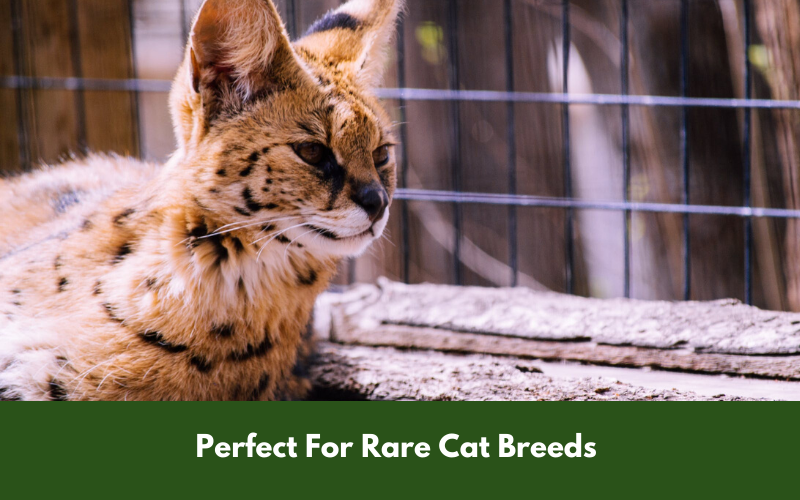 Perfect For Rare Cat Breeds