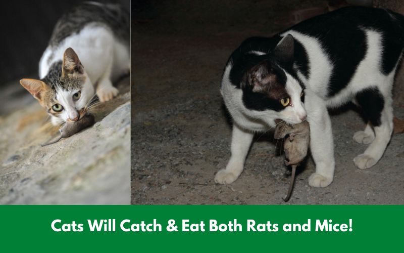 Cats Will Catch & Eat Both Rats and Mice!
