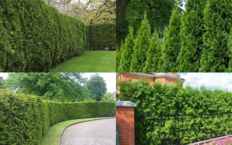 Conifers and bushes