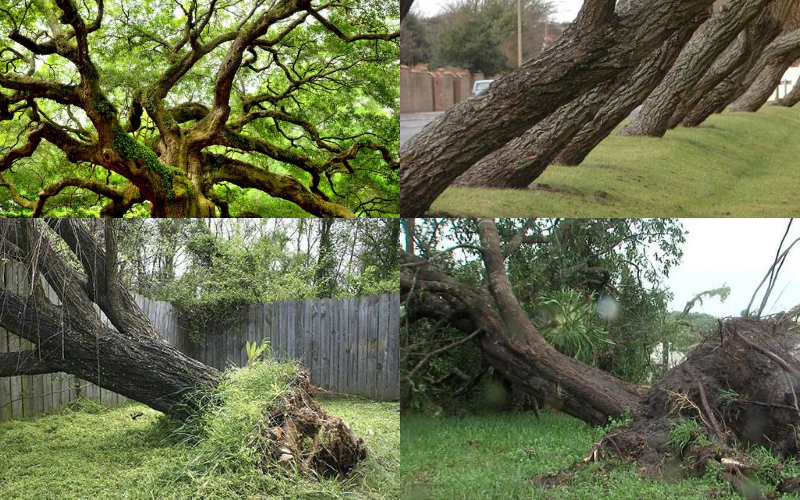 Dangerous and leaning trees