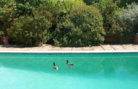 Ways to Keep Ducks Out Of Pool